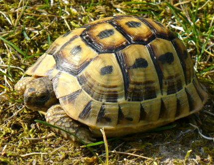 identification esp ce et ge de ma tortue tortue de terre forum la tortue facile. Black Bedroom Furniture Sets. Home Design Ideas