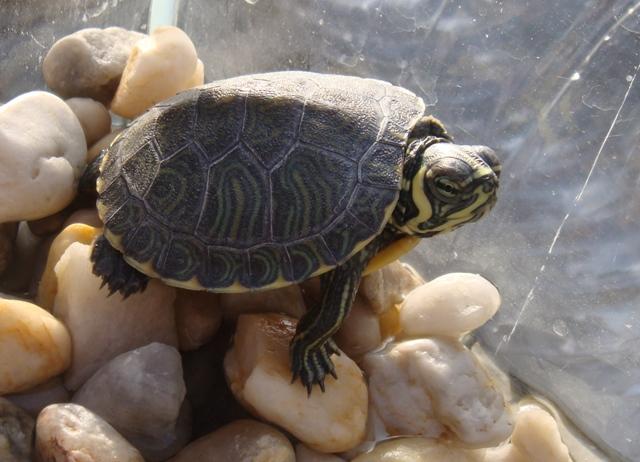nouvelle venue tortue d 39 eau douce forum la tortue facile. Black Bedroom Furniture Sets. Home Design Ideas