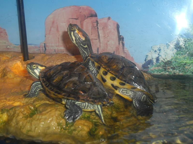 Tortues d eau galerie la tortue facile - Aquarium complet pour tortue d eau ...
