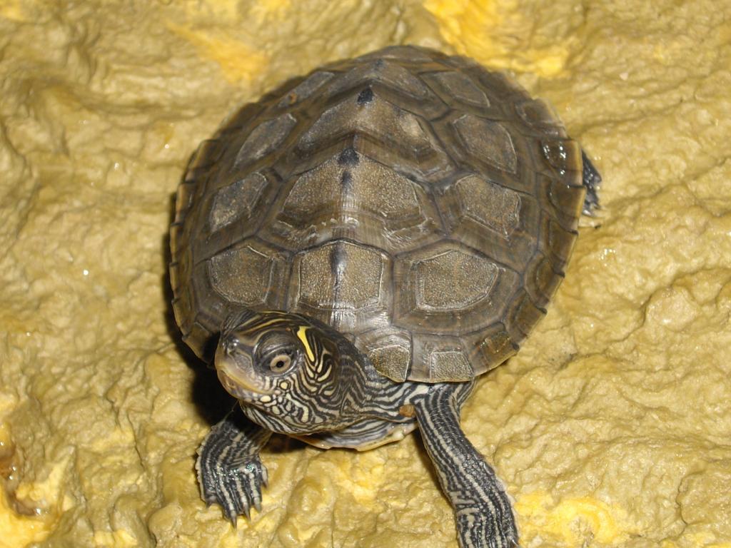 mes graptemys tortue d 39 eau douce forum la tortue facile. Black Bedroom Furniture Sets. Home Design Ideas