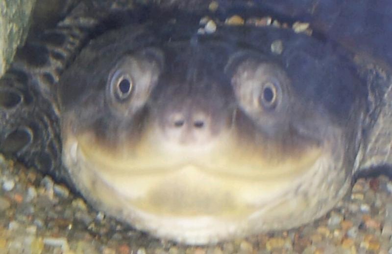 alimentation tortue pelomedusa