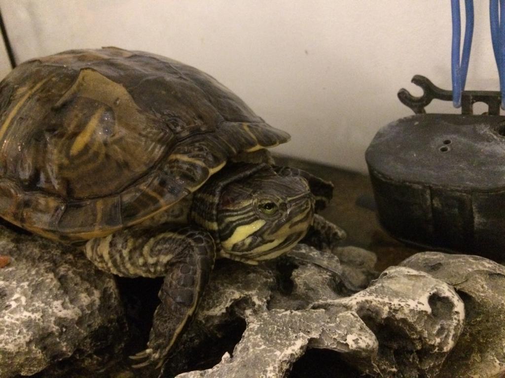 trop chaud refuse de manger tortue d 39 eau douce forum. Black Bedroom Furniture Sets. Home Design Ideas